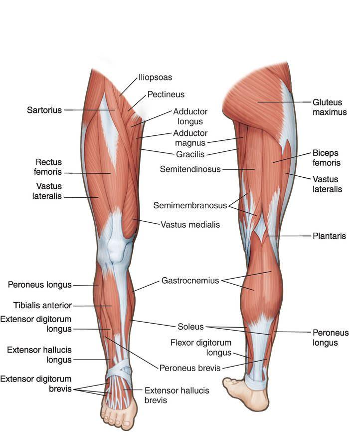 Gracilis Tendonitis Choice Image - human anatomy organs diagram